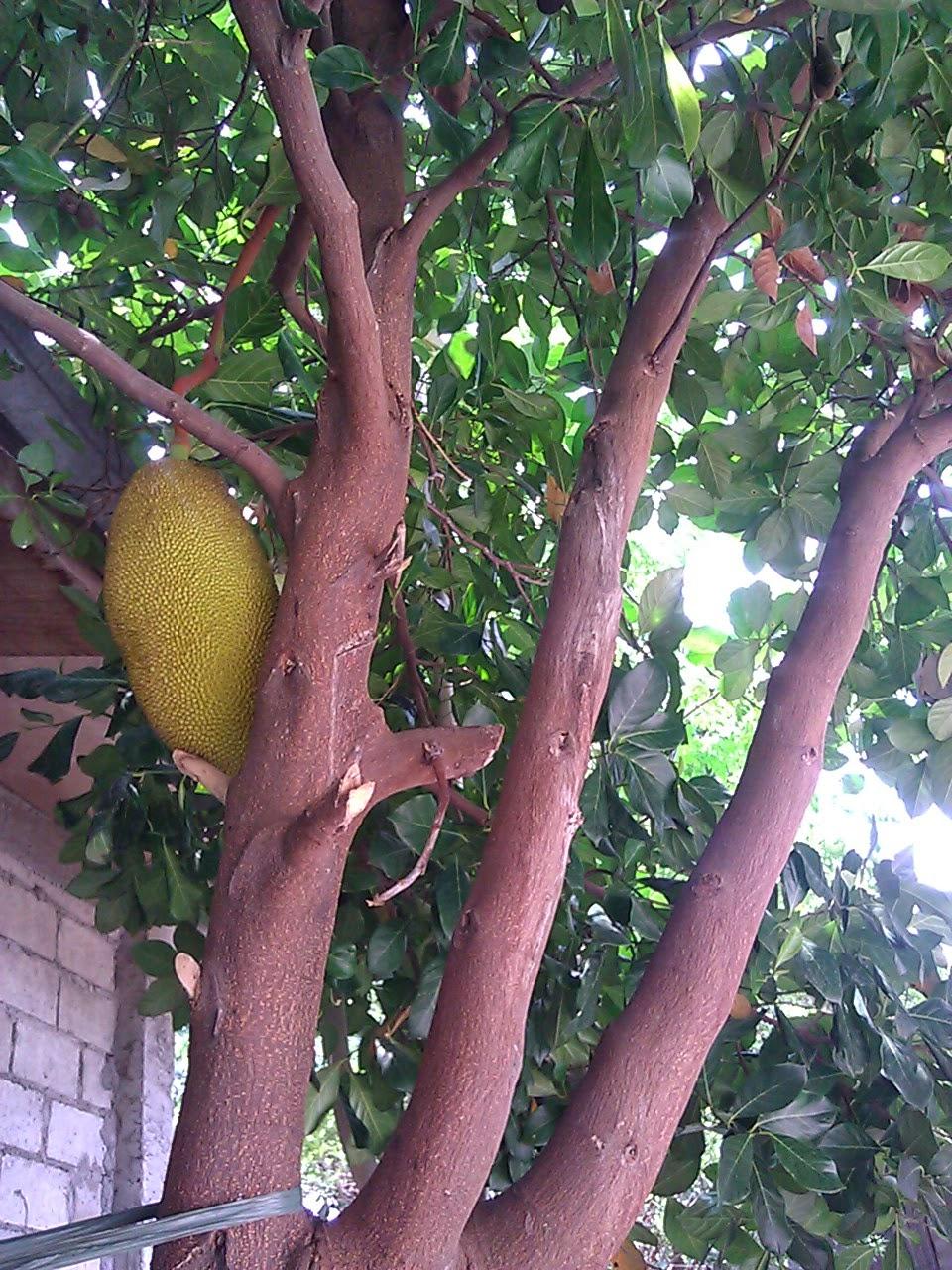 Durian aka Langka — Tropical Reserve Economical Education