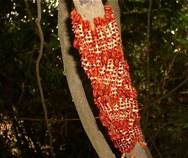 Chenilles de Morpho (Iphimedeia) telemachus iphiclus C. FELDER & R. FELDER, 1862. Colider (Mato Grosso, Brésil), 28 janvier 2010. Photo : Cidinha Rissi