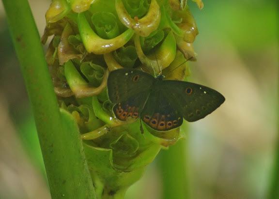 Riodinidae : Eurybia molochina STICHEL, 1910. Caçandoca (Ubatuba, SP). 12 février 2012. Photo : J.-M. Gayman
