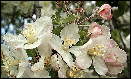 appleblossoms 4-12a