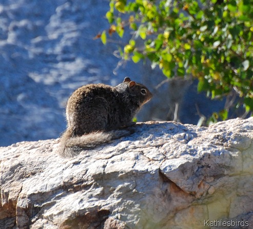 2. rock squirrel-kab