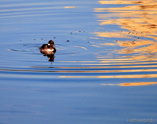 16. female bufflehead-kab