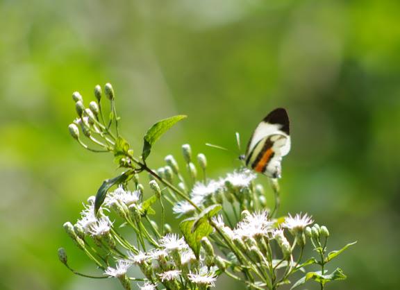 Perrhybris pamela pamela (STOLL, 1780), mâle. Saut Athanase, 4 novembre 2012. Photo : J.-M. Gayman