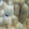 Mound Coral