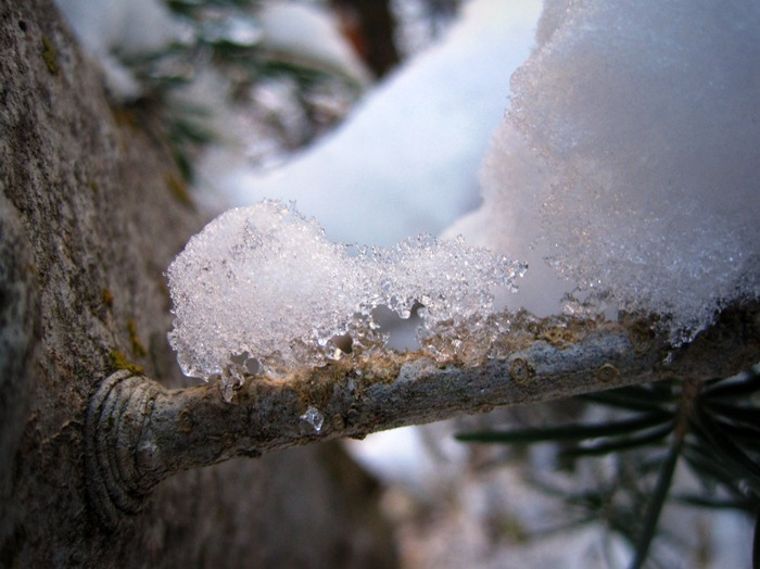 fresh snow on a tree's branch in Big Cottonwood Canyon