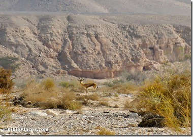 Gazelle in Nahal Paran, tb042107595