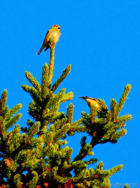 8. goldfinches-kab