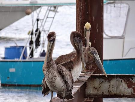 29. Pelicani.JPG
