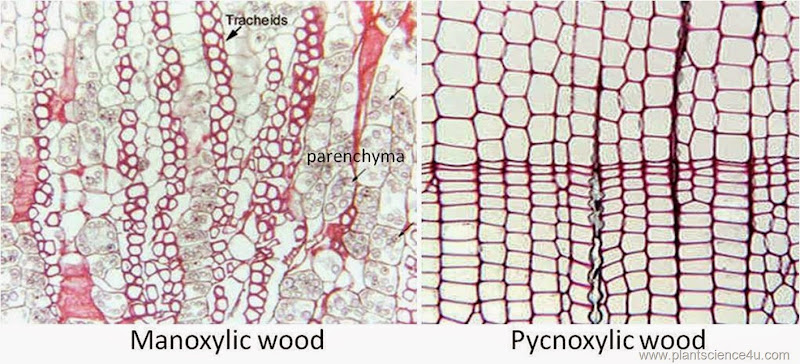 manoxylic and pycnoxylic wood