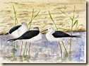 Black Winged Stilts081