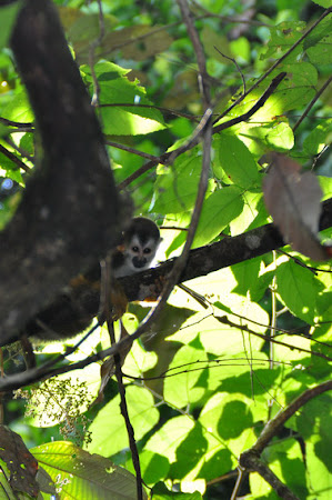 Fauna Costa Rica: Squirrel Monkey