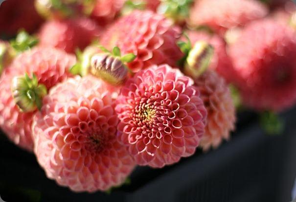 07092011 6180 Sno Ho Doris dahlia floret