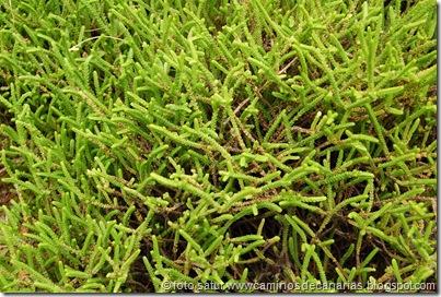 0555 Barranco Azuaje(Crásula licopodiosa)
