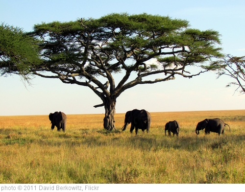 'Elephants - Serengeti National Park safari - Tanzania, Africa' photo (c) 2011, David Berkowitz - license: http://creativecommons.org/licenses/by/2.0/