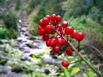 bright red berries at Donut Falls in Big Cottonwood Canyon Utah