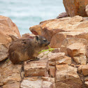 Rock hyrax or Cape hyrax