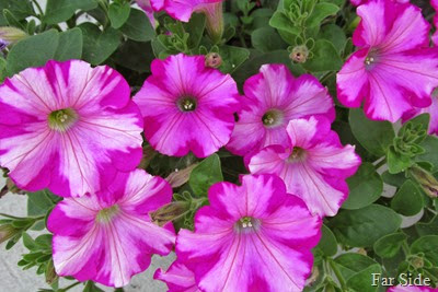 Pretty petunias at Moms