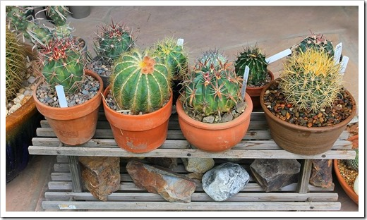 130623_small-barrel-cactus-on-rack_03