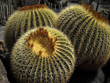 Imagini Lanzarote: Cactuşi, pepeni uriaşi