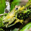 Gladiator frog