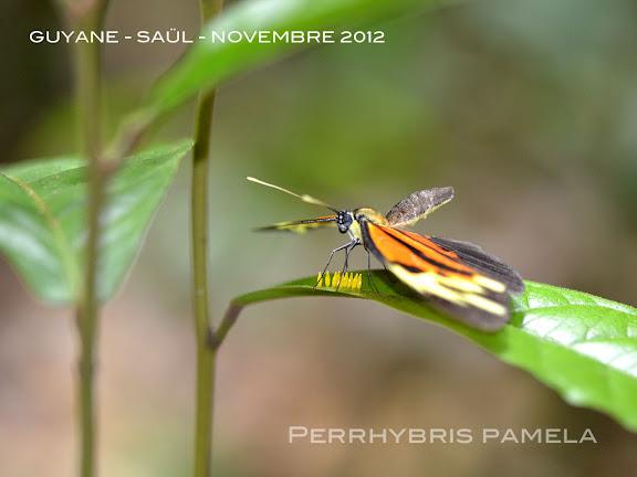 Perrhybris pamela pamela (STOLL, 1780), femelle pondant. La Roche Bateau, Saül, novembre 2012. Photo : M. Belloin