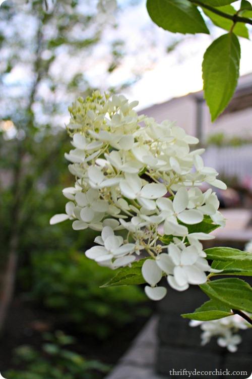 pee gee hydrangea bloom