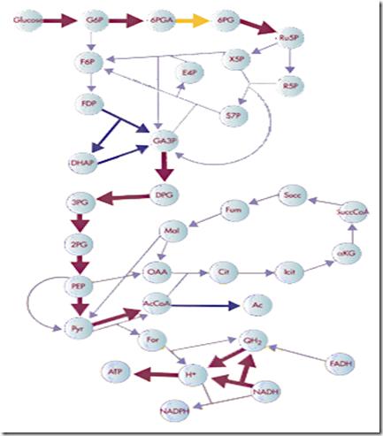 E_coli_metabolic_network