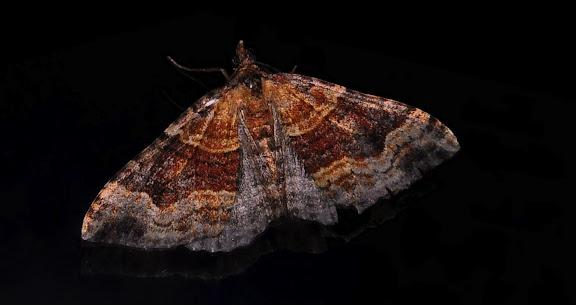 Geometridae : Larentiinae : Xanthorhoini : Epyaxa sodaliata WALKER, 1862. Umina Beach (NSW, Australie), 2 octobre 2011. Photo : Barbara Kedzierski
