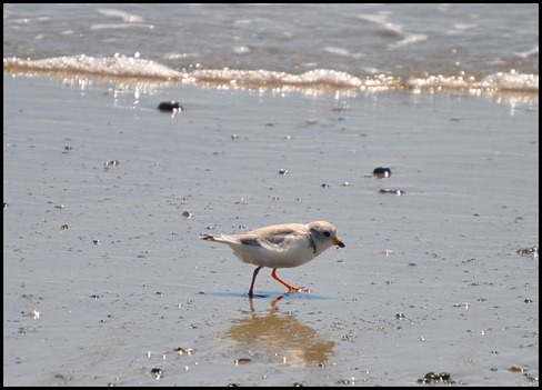 03o - Barrier Beach Trail - endangered piping plover