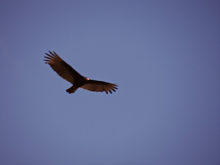 29. Vultur cu cap rosu.JPG