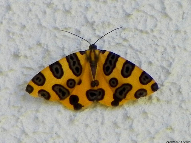 Geometridae : Ennominae : Pantherodes colubraria (GUENÉE, 1858). Environs de Curitiba, Paraná. 2 novembre 2010. Photo : Mauricio Skrock