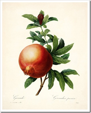 redoute_pomegranate