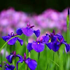 Purple Flower Avatar