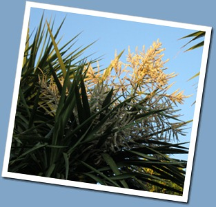 Cabbage Tree flowers
