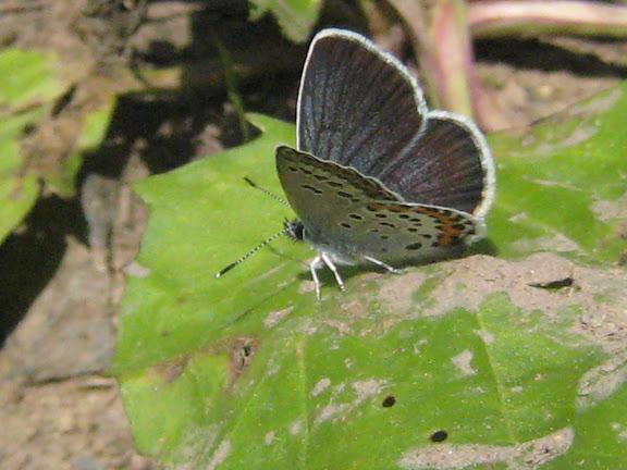 Plebejus subsolanus EVERSMANN, 1851. Aurovka, au sud d'Anutchino (Primorskij Kraj, Russie), 1er juillet 2011. Photo : G. Charet