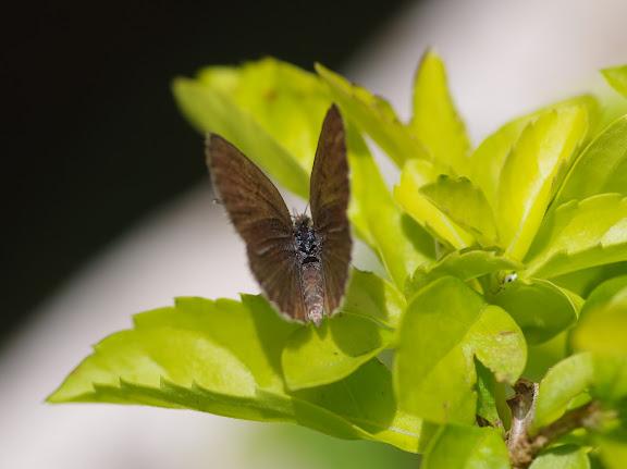 Zizina antanossa MABILLE, 1877, femelle. Yaoundé (Cameroun), 5 avril 2012. Photo : J.-M. Gayman
