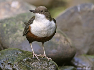 white throated dipper bird