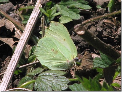 20130503 SV female brimstone