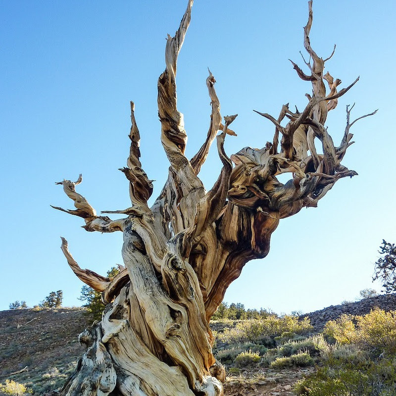Bristlecone Pines – The Oldest Trees on Earth