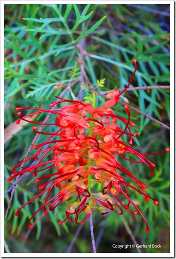 131124_UCD_Arboretum_AustralianCollection_Grevillea-Masons-Hybrid_17