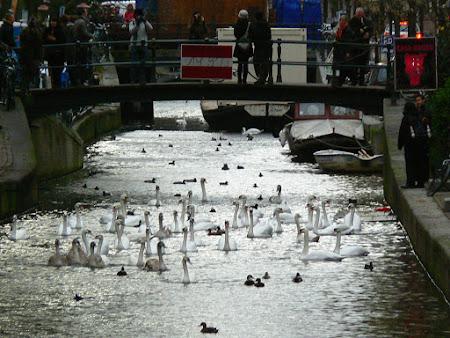 Imagini Olanda: lebede pe canalele din Amsterdam