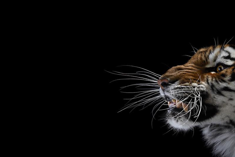 animal-photography-affinity-Brad-Wilson-tiger-1.jpeg