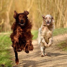 Happy Boys by René van Zon - Animals - Dogs Running