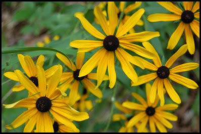 black-eyed-susan7
