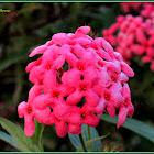Panama Rose, Bush Pentas