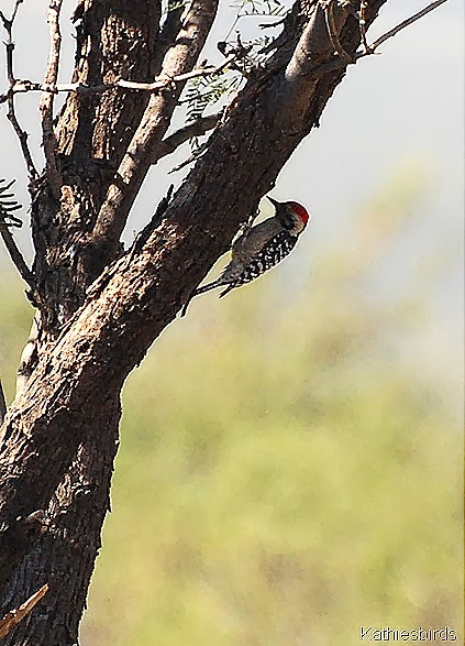 13. ladder-backed woodpecker in Rodeo-kab