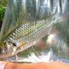 Barb (Fish)