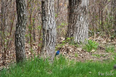 Indigo Bunting in the grass