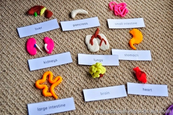Different Internal Organs (Modelling using PlayDoh)