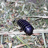 Pill Bug, Roly Poly